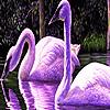 Purple swans